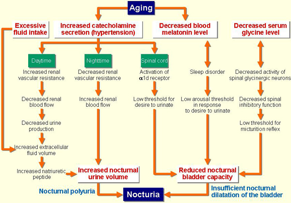 Flowchart displaying nocturnal polyuria in response to aging
